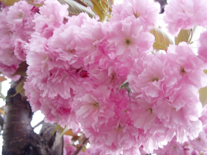 Yezakura is a cherry tree with the very large blossoms that are used to make pickled sakura flowers